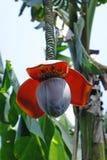 与花的香蕉树 免版税库存照片