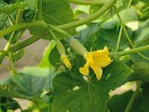 与花的年轻绿色黄瓜 免版税库存图片