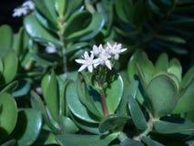 与花的Succulen 免版税库存照片