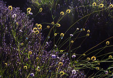 与花种子头的生长在淡紫色的杂草和蜗牛 免版税库存图片