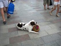 与花篮子的狗  免版税图库摄影