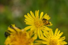 与花粉囊的蜂,关闭  图库摄影