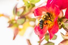 与花粉的一只蜂在一朵红色花 库存图片