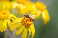 与花粉的哺养的蜂蜜蜂 免版税库存图片