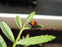 与花粉的瓢虫在一片绿色叶子 库存图片