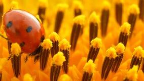 与花粉的红色瓢虫在黄色向日葵 影视素材