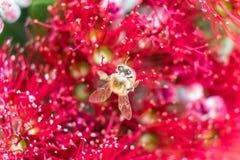 与花粉的蜂在红色Pohutukawa花,宏指令接近的u的翼 免版税库存图片