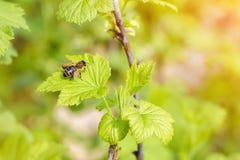 与花粉的蜂在腿 库存图片