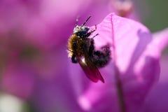 与花粉的蜂 免版税图库摄影