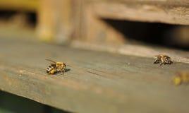 与花粉的蜂 库存图片