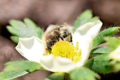 与花粉的蜂 图库摄影