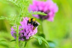 与花粉篮子的土蜂授粉一朵紫色三叶草花 库存图片