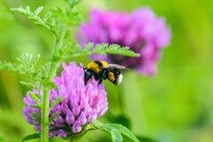 与花粉篮子的土蜂授粉一朵紫色三叶草花 库存照片