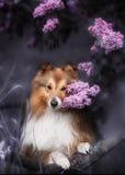 与花花束的逗人喜爱的小的Sheltie狗  库存图片