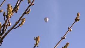 与芽和被弄脏的气球飞行的栗树分支 E 股票视频