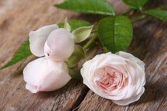 与芽特写镜头的淡粉红的花玫瑰 免版税库存图片