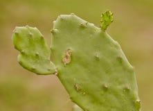 与芽的一个绿色仙人掌 图库摄影