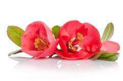 与芽的两朵美丽的珊瑚花 库存照片