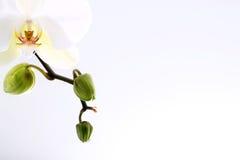 与芽的兰花关闭  免版税库存图片