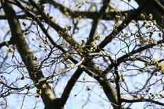 与芽的分行 背景射线关闭砍伐结构树 免版税库存图片