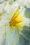 与芽的大丽花 图库摄影