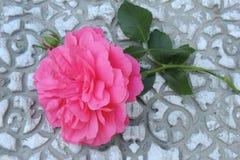 与芽的大红色玫瑰在灰色背景 免版税库存图片
