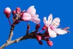 进展的春天开花在蓝色的桃红色 免版税库存图片
