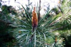 与芽的杉木分支,常青树 库存图片