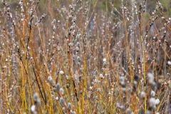 与芽的杨柳分支在早期的春天,选择聚焦 E ??verticale?? 免版税库存图片