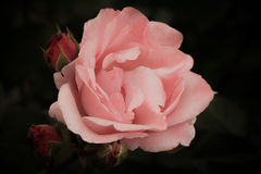 与芽的桃红色玫瑰在一朵黑暗的背景,软和浪漫葡萄酒花 库存照片