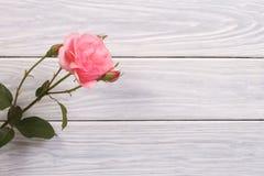与芽的桃红色玫瑰在木板 免版税库存图片