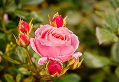 与芽的桃红色玫瑰在秋天 免版税图库摄影