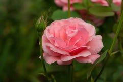 与芽的桃红色玫瑰在绿色灌木的背景在庭院里 图库摄影