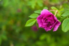 与芽的桃红色玫瑰在绿色灌木的背景 图库摄影