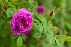 与芽的桃红色玫瑰在绿色灌木的背景 库存照片