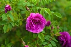 与芽的桃红色玫瑰在绿色灌木的背景 免版税图库摄影