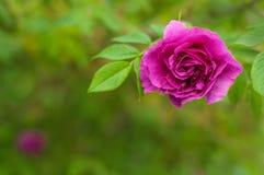 与芽的桃红色玫瑰在绿色灌木的背景 免版税库存照片