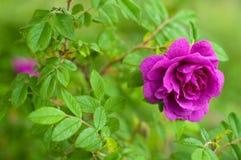 与芽的桃红色玫瑰在绿色灌木的背景 免版税库存图片