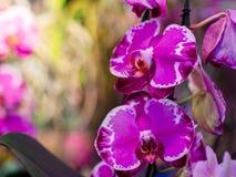 与芽的狂放的紫色和白色兰花花 库存照片