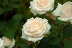 与芽的白玫瑰在绿色灌木的背景在庭院里 免版税图库摄影