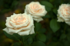 与芽的白玫瑰在绿色灌木的背景在庭院里 免版税库存图片