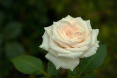 与芽的白色玫瑰在绿色灌木的背景在庭院里 库存照片
