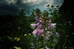 与芽的紫色花在一个剧烈的样式的一个草甸 库存照片