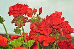 与芽的美丽的红色花 库存图片