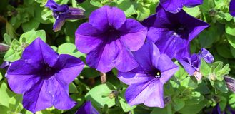 与芽的美丽的紫罗兰色花 图库摄影