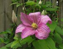 与芽的阴暗浅紫色的Clementis 免版税库存图片
