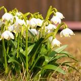 与芽,在唤醒的春天花的Snowdrop花 库存图片