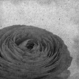 与苍白橙色毛茛属,波斯毛茛的织地不很细老纸背景 免版税库存图片