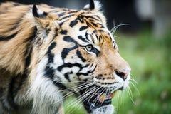 与苏门答腊老虎的遭遇 免版税库存照片