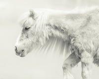 与英俊的长的鬃毛的小马 免版税库存图片